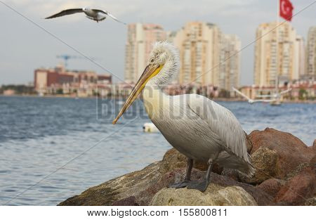 Pelican standing on a rock near the sea in izmir - Turkey.  A seagull flying behind the pelican.