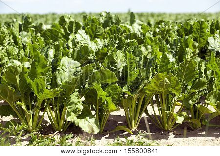 Agricultural field on which grow beets for sugar production, sugar beet