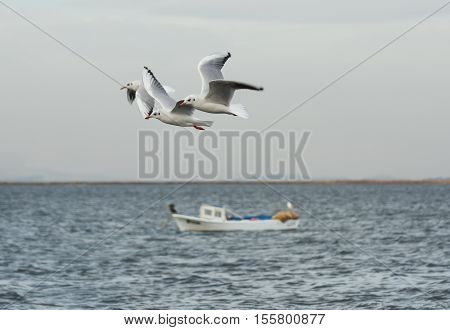 Seagulls flying with open wings on the sea.