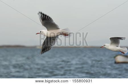Seagull flying with open wings on the sea.