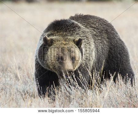 Blondie the grizzly bear playing peek-a-boo in deep grass
