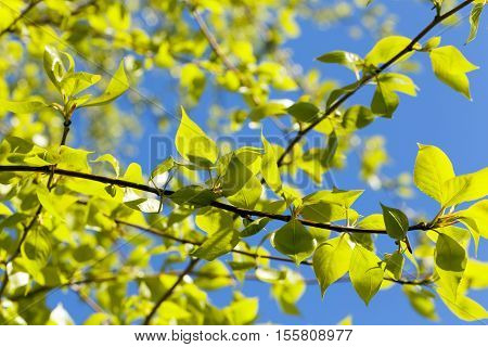 photographed close-up of green lime tree leaves in the spring time of the year, in the background a blue sky