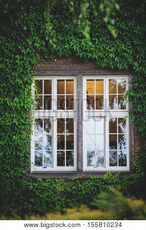 Window Hidden In Green Ivy.