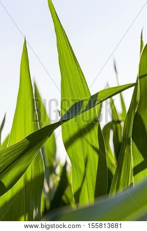 Agricultural field on which grow immature corn crop, close-up leaves