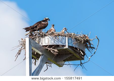 Osprey sitting by her nest with babies