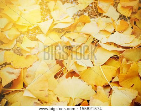 Abstract blur and soft autumn Ginko tree background