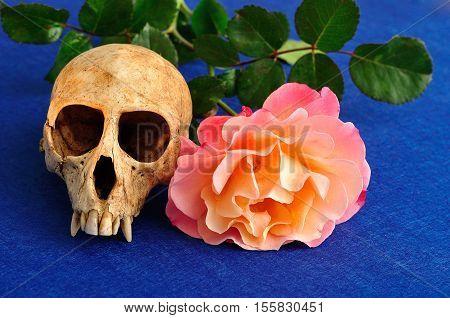 Vervet monkey skull with an orange rose on a blue background