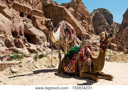 Photo of the Two bedouin camels rests near caves. Summer vacation, eco tourism, tourist transport concept. Petra, Jordan.