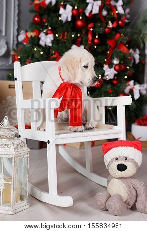 Christmas portrait of white puppy golden retriever on the neck tied red ribbon, posing in the studio on a festive background of green elegant Christmas tree with red balls sitting on a white wooden rocking chair near the teddy bear in Santa cap