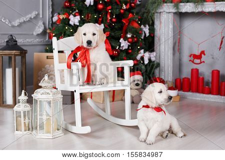 Two beautiful puppy breed Golden Retriever tied at the neck with red ribbons,a puppy sits on a white wooden rocking chair,another dog lies beside the chair,a Christmas portrait of two puppies on the background of a festive Christmas tree