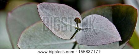 Close up of Eucalyptus Azura silvery blue foliage