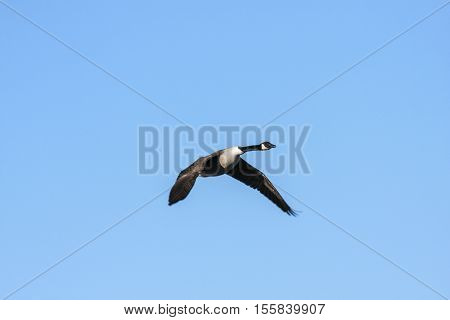 A single Canada goose in migration. Clear blue sky in April.