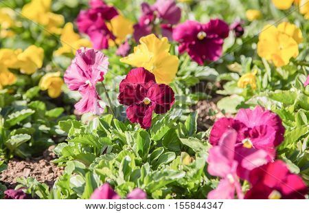 field of colorful viola pansy flowerclose up