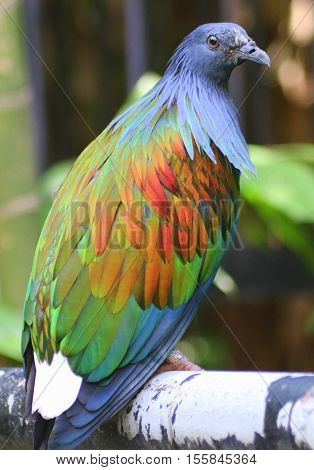 colorful Nicobar Pigeon perching on railing, seen from behind at an angle to the right, bird looking back, Thailand