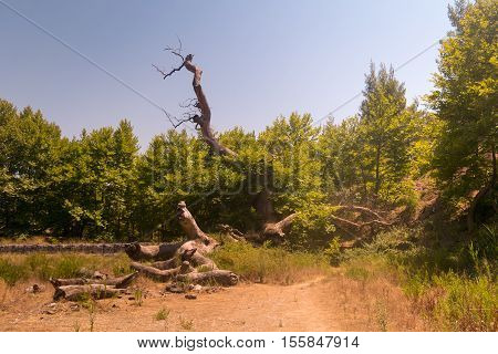 Relics of the old plane tree at Prokopi village in Euboea in Greece.This plane tree used to be the biggest in Europe.