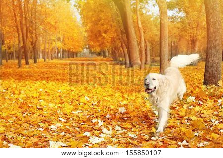 Funny labrador retriever in beautiful autumn park on sunny day