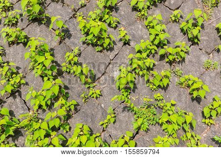 Old Stone Brick Wall Texture Against Creeping Plant Green Leaf.