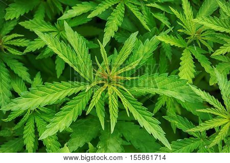Cannabis marijuana leaf closeup background. Nature background