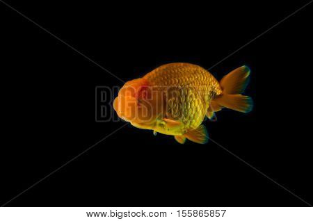 goldfish with black Background. fish is beautiful
