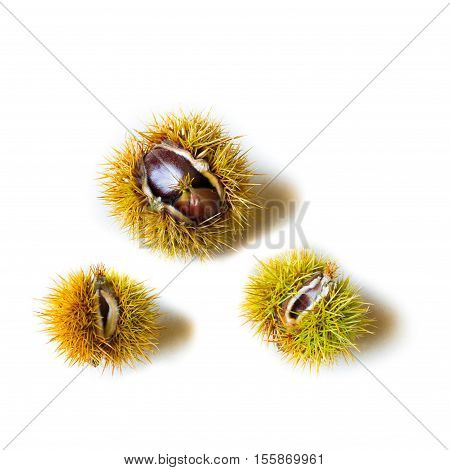 Three prickly chestnuts with open husk on isolated white background. Copy Space