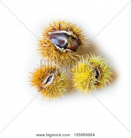 Three chestnuts with open husk on isolated white background. Copy Space
