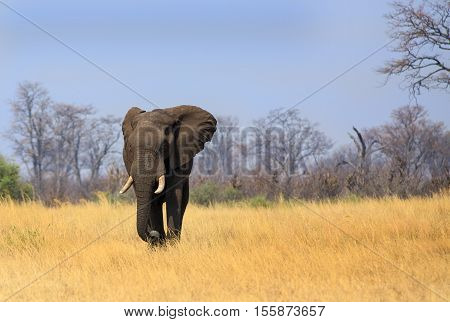 Large Bull elephant with large tusks walking on the open dry plains in Hwange National Park
