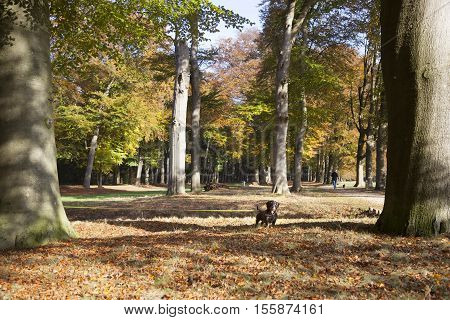 autumnal beech trees in park broekhuizen with teckel on long leash in the fall poster