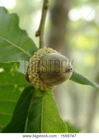 Acorn Of An Oak