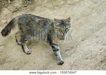 European shorthair cat is in hunting stage.