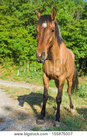 Full body portrait of Crimean horse .