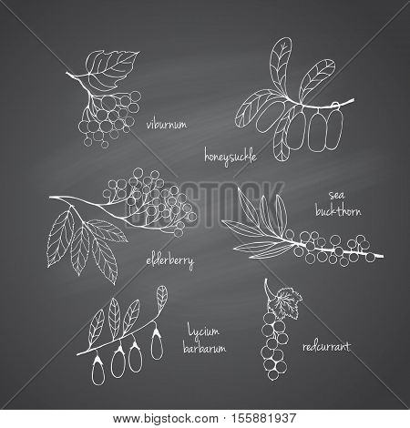 Collection of garden and wild berries. Hand-drawn sketches in chalk on the blackboard. illustration for design