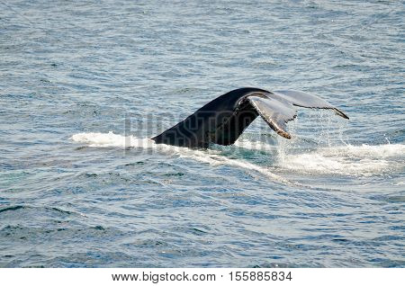 Swimming humpback whale in sunny day. Newfoundland. Canada.
