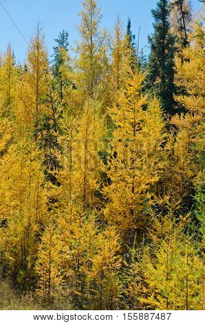 Northern Ontario Forest in Autumn time. Canada