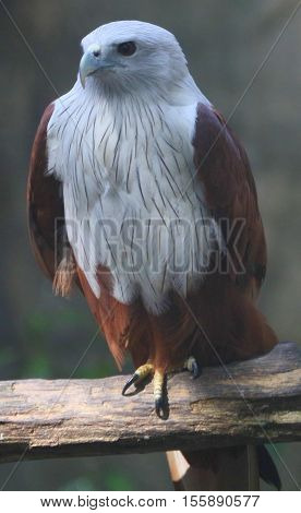 adult Brahminy Kite perching on a log on one leg, facing camera, partly in shadow, Thailand
