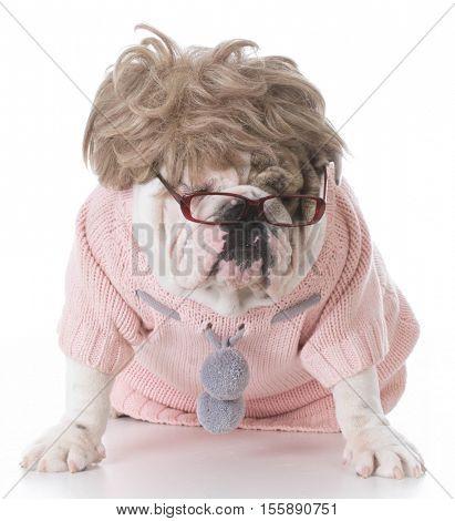 female english bulldog dressed up like a human on white background