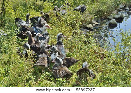 The musk ducks at pond. Russian Far-East.