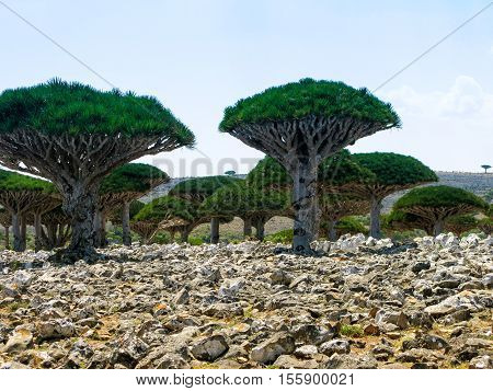 Dragon tree forest endemic plant of Socotra island Yemen