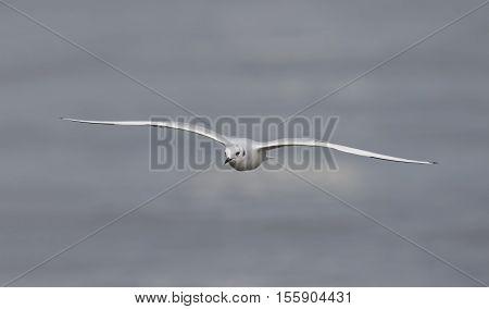 Bonaparte's Gull (Chroicocephalus philadelphia ) soaring over a Lake Huron Beach in autumn - Grand Bend Ontario Canada