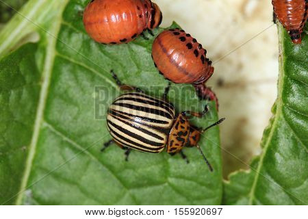 Striped Pests