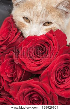 A large bouquet of red roses and a cat close-up