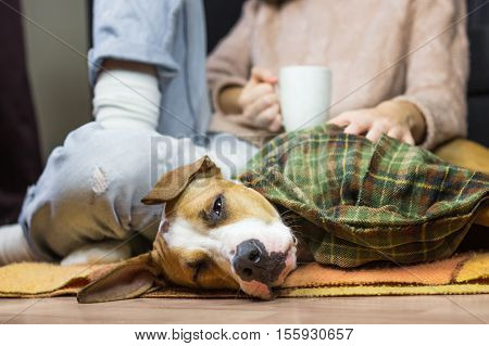 Sleepy dog in throw blanket with human. Lazy puppy covered in plaid with human in jeans and wool sweater who drinks coffee or tea