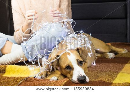 Unwrapping christmas lights with puppy. Female person unwinding garland, dog lying next to her on plaid