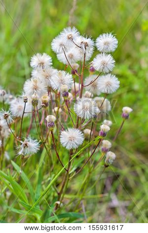 Melkolepestnik ustionem (lat. Erigeron acris). Fera medicinales plantarum Siberia