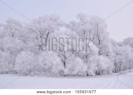 Very beautiful trees in frost in the winter park