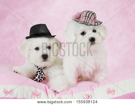 Portrait of two Bichon Frise puppies (two months old) in hats