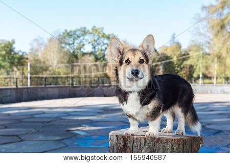 Welsh Corgi stands on the stump. Pembroke welsh corgi in the autumn park.