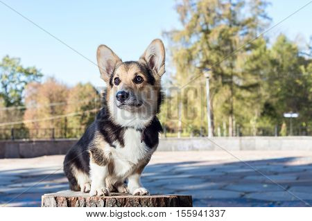 Welsh Corgi sits on the stump. Pembroke welsh corgi in the autumn park.