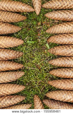 arranged brown cone spruce as background nature