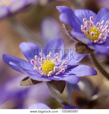 hepatica blossoms in spring day close up