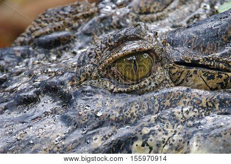 Crocodile eye Close up danger reptile alligator